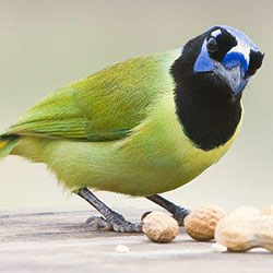 Texas green jay bird